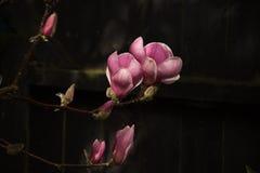 Tulipanowa magnolia Zdjęcie Royalty Free