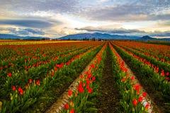 Tulipanowa mila Obrazy Stock