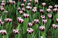 Tulipanowa najwyższa wygrana Zdjęcie Royalty Free