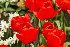 Tulipanowa roślina Zdjęcie Stock