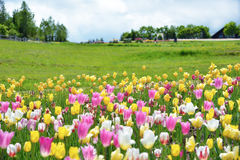 Tulipanowa roślina, kolorowi tulipany zdjęcie royalty free