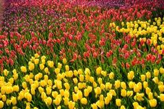 Tulipanowa rozmaitość zasadzająca w postaci wzorów Obraz Stock