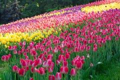 Tulipanowa rozmaitość zasadzająca w postaci wzorów Obrazy Royalty Free