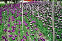 Tulipanowa tapeta zdjęcia stock