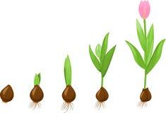 Tulipanowa wzrostowa scena Fotografia Royalty Free
