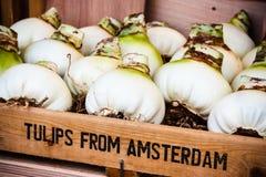 tulipanowe amsterdam żarówki Zdjęcie Stock