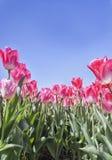 Tulipanowe żarówki w kwiacie Fotografia Stock