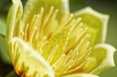 Tulipanowego drzewa kwiat Fotografia Royalty Free