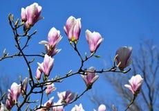 Tulipanowego drzewa kwiaty Zdjęcia Stock