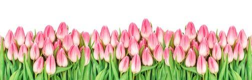Tulipanowego kwiatu sztandaru wiązki Kwiecista rabatowa menchia kwitnie Zdjęcie Royalty Free