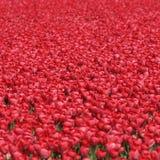 Tulipanowego kwiatu tła czerwoni tulipany kwitną wiosnę w holandiach Fotografia Stock