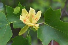 Tulipanowej topoli kwiat Obrazy Royalty Free