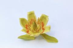 Tulipanowej topoli kwiat na białym tle Fotografia Stock