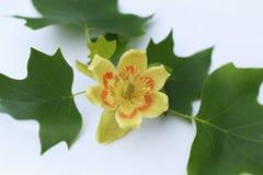 Tulipanowej topoli kwiat na białym tle Zdjęcia Royalty Free