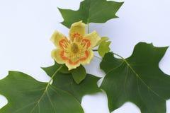 Tulipanowej topoli kwiat na białym tle Obrazy Stock