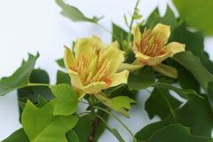 Tulipanowej topoli kwiat na białym tle Zdjęcia Stock