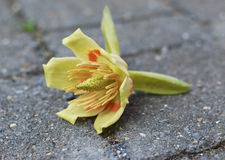 Tulipanowej topoli kwiaty Zdjęcie Royalty Free