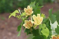 Tulipanowej topoli kwiaty Zdjęcia Stock