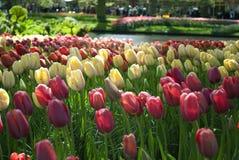Tulipanowi łóżka Obraz Royalty Free