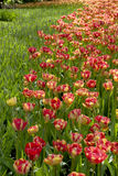 Tulipanowi łóżka Zdjęcia Stock