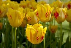 Tulipanowi łóżka Fotografia Stock