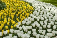 Tulipanowi łóżka Zdjęcie Stock