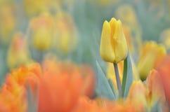 Tulipanowi kwiatów pola Obrazy Stock