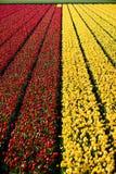 Tulipanowi kwiatów pola Obraz Stock