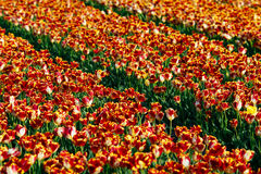 Tulipanowi kwiatów pola Zdjęcia Royalty Free