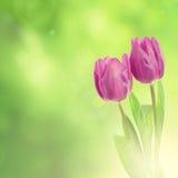 Tulipanowi kwiaty Zdjęcia Stock