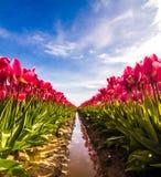 Tulipanowi odbicia Zdjęcie Stock