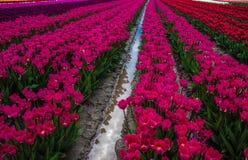 Tulipanowi odbicia III Obrazy Royalty Free