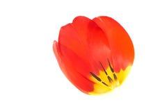 Tulipanowi płatki Zdjęcia Royalty Free