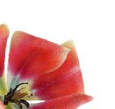 Tulipanowi płatki z wodnymi kroplami Obraz Stock