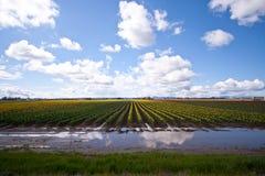 Tulipanowi pola Zdjęcie Royalty Free