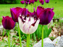 Tulipanowi pola Obrazy Royalty Free
