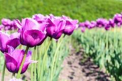 Tulipanowi pola w hokkaida im rocznika brzmienia tle Obrazy Stock