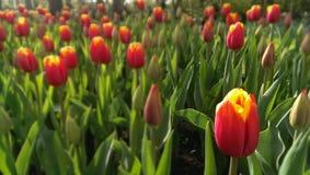 Tulipanowy łóżko obraz royalty free