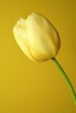 tulipanowy żółty Zdjęcia Royalty Free
