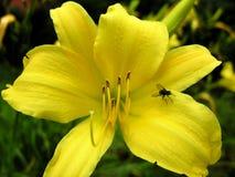 tulipanowy żółty obraz royalty free