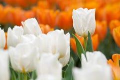 tulipanowy biel Obrazy Royalty Free