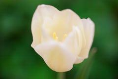 tulipanowy biel Zdjęcie Stock