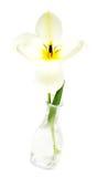 tulipanowy biel Obraz Royalty Free