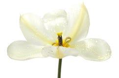 tulipanowy biel Obraz Stock