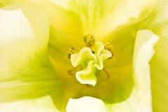 tulipanowy biel Fotografia Royalty Free