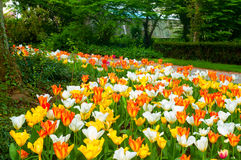 Tulipanowy dywan Zdjęcie Stock