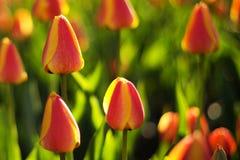 Tulipanowy festiwal Zdjęcie Royalty Free