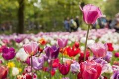 Tulipanowy festiwal zdjęcia royalty free
