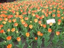 Tulipanowy festiwal Fotografia Stock