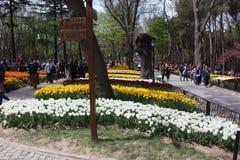 Tulipanowy festiwal, emirgan parkowy Istanbul indyk Obraz Stock